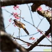 福山120巷‧櫻花百鳥圖:IMG_19.jpg