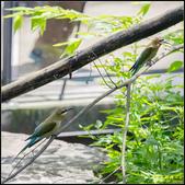 木柵動物園栗喉蜂虎:IMG_18.jpg