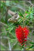 內溝溪綠啄花:IMG_10.jpg