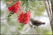 內溝溪綠啄花:IMG_13.jpg
