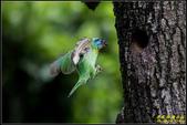石門水庫‧五色鳥想飛:IMG_13.jpg