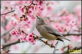 栗尾椋鳥花鳥圖:IMG_07.jpg