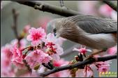 栗尾椋鳥花鳥圖:IMG_08.jpg