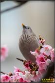 栗尾椋鳥花鳥圖:IMG_09.jpg