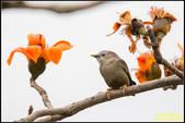 栗尾椋鳥與木棉花的相遇:IMG_23.jpg