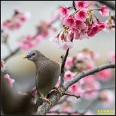 栗尾椋鳥花鳥圖:IMG_12.jpg