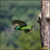 來拍五色鳥‧石門水庫:IMG_10.jpg
