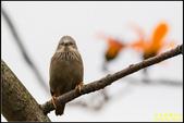 栗尾椋鳥與木棉花的相遇:IMG_24.jpg