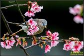 栗尾椋鳥花鳥圖:IMG_18.jpg