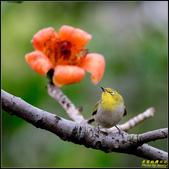 栗尾椋鳥與木棉花的相遇:IMG_25.jpg
