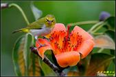 栗尾椋鳥與木棉花的相遇:IMG_28.jpg