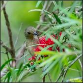 內溝溪綠啄花:IMG_05.jpg
