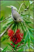 內溝溪綠啄花:IMG_07.jpg
