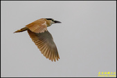湖底埤棕夜鷺:IMG_12.jpg