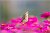 幸福水漾公園扇尾鶯:IMG_04.jpg