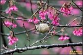 福山櫻花道‧冠羽畫眉花鳥圖:IMG_17.jpg