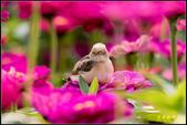 幸福水漾公園扇尾鶯:IMG_09.jpg