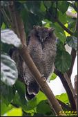 台大領角鴞:IMG_10.jpg