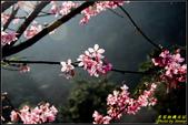 大熊櫻花林昭和櫻:IMG_12.jpg