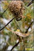 長青之森‧黑頭織布鳥築巢秀:IMG_18.jpg