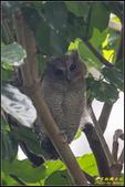 台大領角鴞:IMG_12.jpg