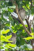 台大領角鴞:IMG_05.jpg