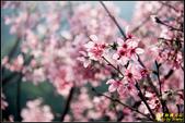 大熊櫻花林昭和櫻:IMG_14.jpg