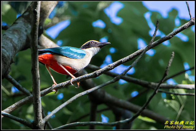 IMG_08.jpg - 大溪河濱公園八色鳥