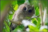 台大領角鴞:IMG_18.jpg