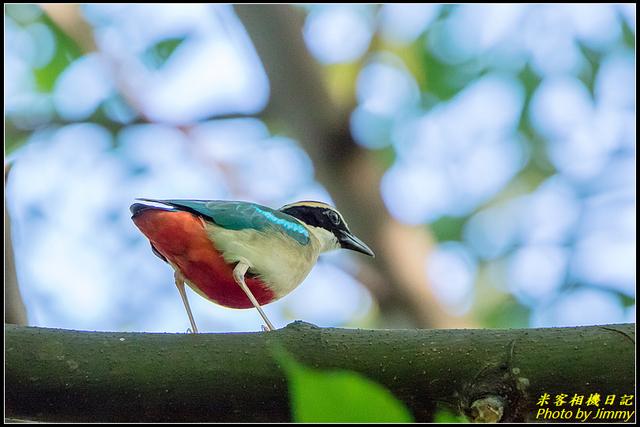 IMG_09.jpg - 大溪河濱公園八色鳥