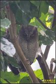 台大領角鴞:IMG_14.jpg