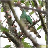 台中都會公園小綠鳩:IMG_07.jpg