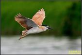 湖底埤棕夜鷺:IMG_09.jpg