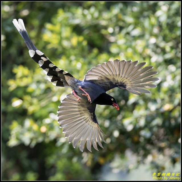 IMG_17.jpg - 三坑自然生態公園‧台灣藍鵲遨遊飛翔