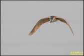 湖底埤棕夜鷺:IMG_10.jpg
