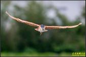 湖底埤棕夜鷺:IMG_11.jpg