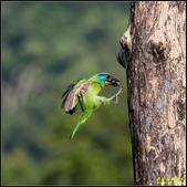 來拍五色鳥‧石門水庫:IMG_05.jpg
