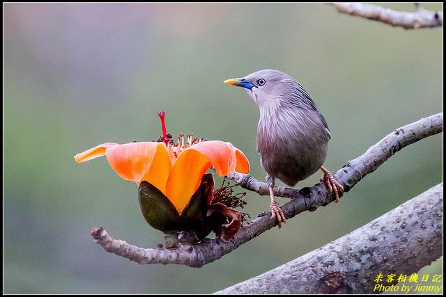 IMG_11.jpg - 栗尾椋鳥與木棉花的相遇
