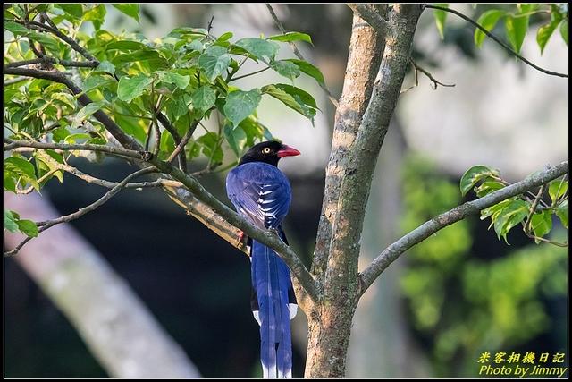 IMG_07.jpg - 三坑自然生態公園‧台灣藍鵲遨遊飛翔