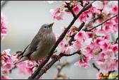 栗尾椋鳥花鳥圖:IMG_11.jpg