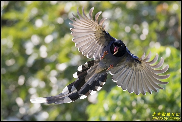 IMG_21.jpg - 三坑自然生態公園‧台灣藍鵲遨遊飛翔