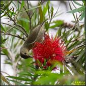 內溝溪綠啄花:IMG_11.jpg