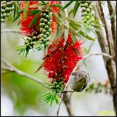 內溝溪綠啄花:IMG_14.jpg