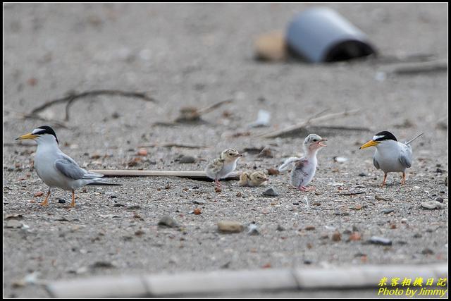 IMG_16.jpg - 竹圍漁港小燕鷗