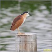 湖底埤棕夜鷺:IMG_03.jpg