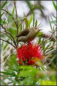 內溝溪綠啄花:IMG_12.jpg