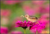 幸福水漾公園扇尾鶯:IMG_10.jpg