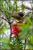 內溝溪綠啄花:IMG_15.jpg