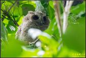 台大領角鴞:IMG_17.jpg