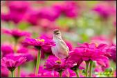 幸福水漾公園扇尾鶯:IMG_15.jpg